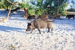 La famiglia dei maiali selvaggi cammina sulle sabbie della costa di mare Fotografia Stock