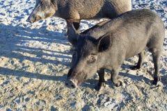 La famiglia dei maiali selvaggi cammina sulle sabbie della costa della spiaggia del mare Immagini Stock Libere da Diritti