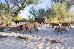 La famiglia dei maiali selvaggi cammina sulle sabbie della costa della spiaggia del mare Fotografia Stock