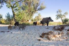 La famiglia dei maiali selvaggi gioca sulle sabbie della spiaggia Immagine Stock