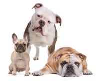 La famiglia del bulldog Fotografia Stock