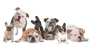 La famiglia del bulldog Fotografie Stock Libere da Diritti