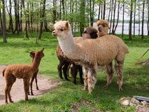 La famiglia dell'alpaca con il piccolo bambino pascola su erba verde dalla La Immagini Stock Libere da Diritti