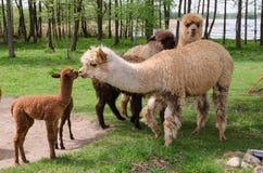 La famiglia dell'alpaca con il piccolo bambino pascola su erba verde dalla La Fotografie Stock Libere da Diritti