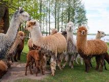 La famiglia dell'alpaca con il piccolo bambino pascola su erba verde dalla La Fotografia Stock Libera da Diritti