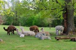 La famiglia dell'alpaca con il piccolo bambino pascola su erba verde dalla La Immagine Stock Libera da Diritti