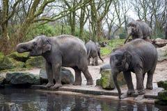 La famiglia dell'elefante va al foro di innaffiatura nella foresta dell'India Fotografie Stock Libere da Diritti
