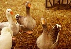 La famiglia dell'oca selvatica fotografie stock libere da diritti