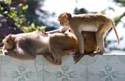 La famiglia della scimmia Fotografie Stock Libere da Diritti
