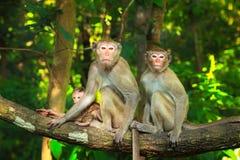 La famiglia della scimmia Fotografia Stock Libera da Diritti