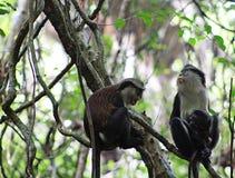 La famiglia della scimmia di Mona tende i loro giovani al centro di conservazione di Lekki, Lagos Nigeria Fotografie Stock Libere da Diritti