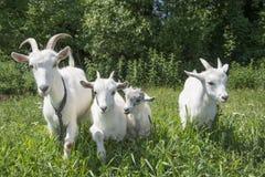 La famiglia delle capre che pascono nel prato Immagine Stock Libera da Diritti