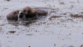 La famiglia delle lontre di mare divide un granchio stock footage