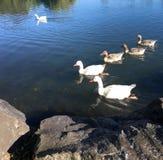 La famiglia delle oche bianche nuota in primavere occidentali parcheggia a Auckland N Fotografia Stock Libera da Diritti