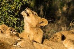 La famiglia di Lionfotografie stock libere da diritti