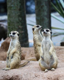 La famiglia di Meerkat sta prendendo il sole Immagine Stock