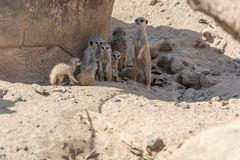 La famiglia di Stokstaartjes Meerkat guarda intorno fotografie stock