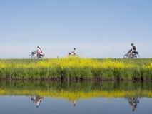 La famiglia guida la bicicletta lungo l'acqua di vicino valleikanaal leusden nei Paesi Bassi e passa i fiori di fioritura gialli  immagine stock libera da diritti