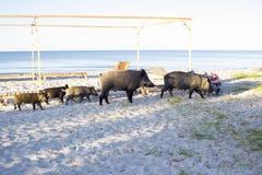 La famiglia selvaggia dei maiali con i porcellini cammina sulle sabbie della spiaggia del mare Fotografie Stock