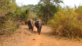 La famiglia selvaggia ed il bambino dell'elefante africano stanno andando al lago video d archivio