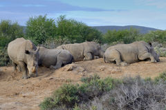 La familia blanca del rinoceronte está descansando sobre la tierra Fotografía de archivo libre de regalías