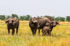 La familia de búfalos de Kafr en la estepa mira el photogra Fotos de archivo libres de regalías