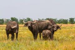 La familia de búfalos de Kafr en la estepa mira el photogra Foto de archivo libre de regalías