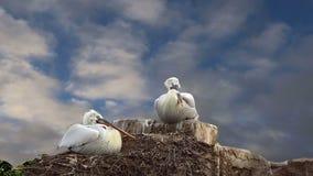 La familia de dos pelícanos jerarquiza en el cielo azul almacen de video