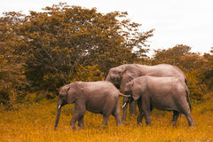La familia de elefantes camina y pasta en los arbustos surafricanos Imagen de archivo