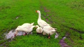 La familia de gansos blancos de los animales va a beber el agua de la charca metrajes