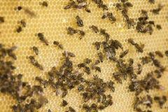 La familia de la abeja recolecta la miel en panales en una colmena Foto de archivo libre de regalías
