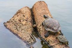 La familia de la tortuga en la madera en el lago Fotografía de archivo libre de regalías