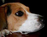 La familia de observación principal de los beagles come Foto de archivo