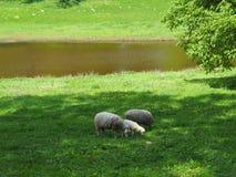 La familia de ovejas en un campo, come la hierba fotografía de archivo libre de regalías