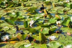La familia de pájaros flota entre loto de los lirios de agua de las flores Imágenes de archivo libres de regalías