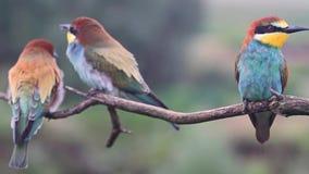 La familia de pájaros salvajes coloreados descansa sobre la rama almacen de video