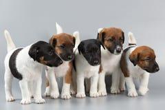 La familia de perritos criados en línea pura alisa el fox terrier de la capa, fotografiado Fotografía de archivo