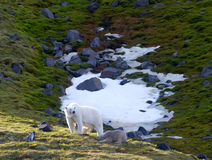 La familia de polar refiere la isla Franz Josef Land de Northbrook Fotografía de archivo libre de regalías