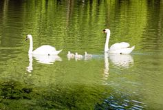 La familia del cisne Imagen de archivo