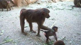La familia del mono del babuino come una rama en el parque zoológico almacen de video
