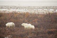 La familia del oso polar busca la comida en arbustos Fotos de archivo