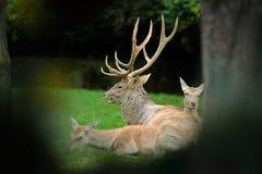 La familia en los ciervos bactrianos del bosque, bactrianus de los ciervos del elaphus del Cervus, grita el animal adulto potente Foto de archivo