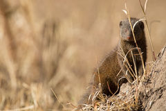 La familia enana de la mangosta disfruta de seguridad de su madriguera Foto de archivo libre de regalías