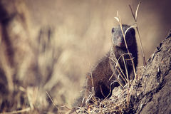 La familia enana de la mangosta disfruta de seguridad de su madriguera Imagen de archivo