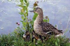 La familia es un pato y sus anadones Charca y aves acuáticas Buen humor imagenes de archivo