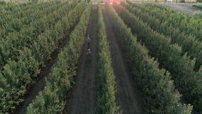 La familia joven feliz camina entre las filas de árboles verdes y disfruta de la naturaleza, visión aérea sobre jardín de la manz almacen de metraje de vídeo
