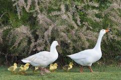 La famille d'oie Image stock