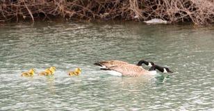 La famille d'oies s'est blottie ensemble des poussins d'oie nageant le lac Photographie stock