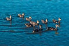 La famille de canard nage sur la surface de lac Photos stock