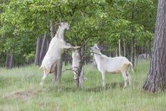 La famille de chèvres mangent Photo libre de droits